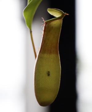 ウツボカズラ ネペンテス 捕虫袋に虫