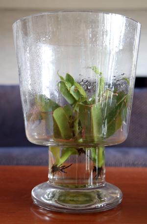 ウツボカズラ ネペンデス 挿し木 水挿し 出芽 発根