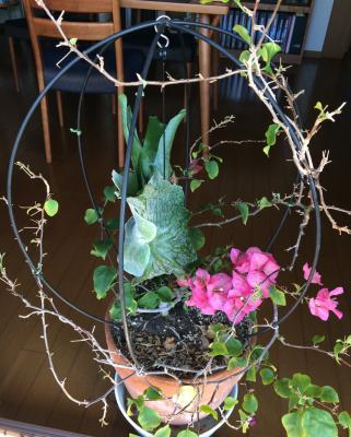 鳥かごのビカクシダ・スパーバム