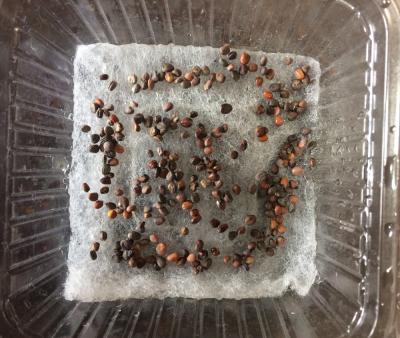 赤ラデッシュ スプラウト 種まき