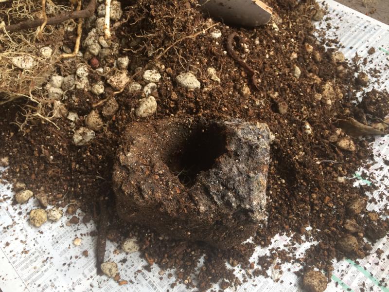 フィロデンドロン・クッカバラ 購入時の溶岩鉢