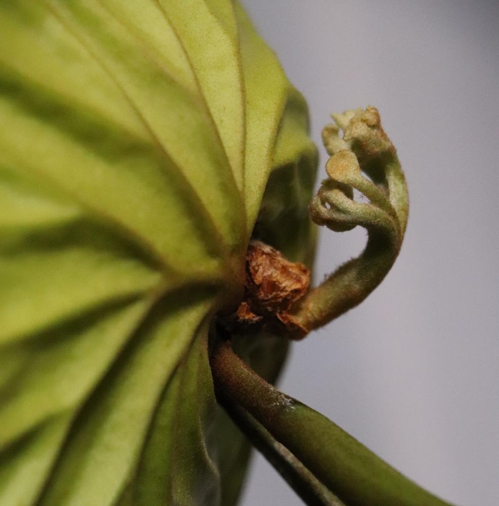 ビカクシダ・リドレイ 胞子葉
