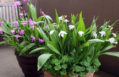 紫蘭・白花紫蘭 シロバナシラン