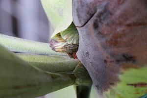 ビカクシダ アルシコルネ・マダガスカル 新しい胞子葉