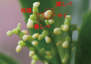 千両 センリョウ 花
