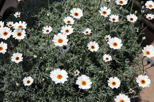 ローダンセマム アフリカンアイズ 開花