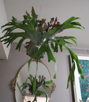 ビカクシダ スパーバム 胞子葉