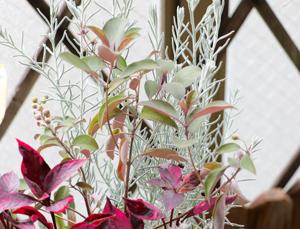 セイヨウニンジンボク プルプレア 寄せ植え ミツバハマゴウ パープレア