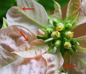 プリンセチア 葉の変形 ちぢれ 根詰まり 乾燥