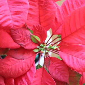 ポインセチア 花