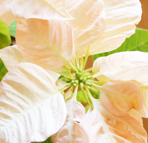 プリンセチア 花