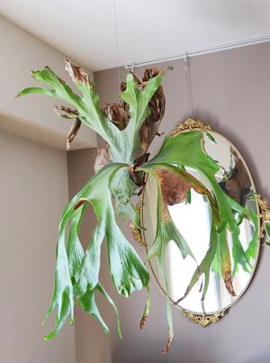 ビカクシダ スパーバム 苔玉 ハンギング 胞子葉