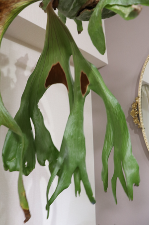 ビカクシダ スパーバム 胞子葉 奇形