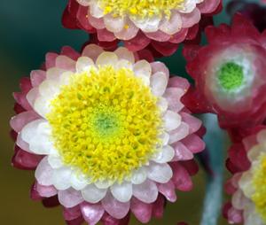 ヘリクリサム・レッドジュエルの花