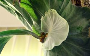 ビカクシダ スパーバム ハンギング 胞子葉