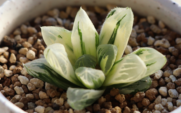 ハオルチア 花水晶 オブツーサ 錦