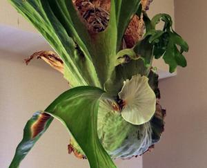 ビカクシダ スパーバム 苔玉 ハンギング 貯水葉