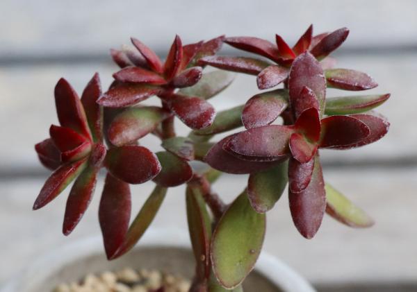 多肉植物 ベンケイソウ クラッスラ 義経の舞 紅葉