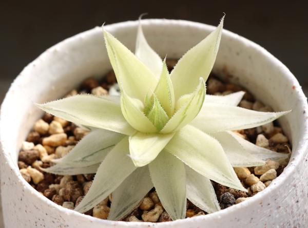 ハオルチア シンビフォルミス セツリフェラ 仙女冠 糊斑 琥珀斑