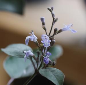 セイヨウニンジンボク プルプレア ミツバハマゴウ パープレア 花
