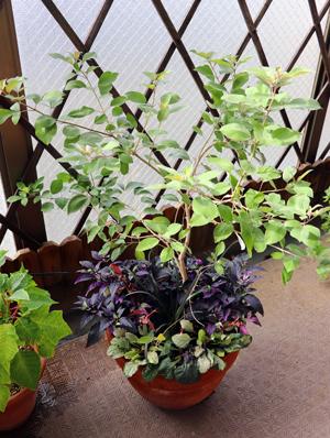 セイヨウニンジンボク ミツバハマゴウ プルブレア 寄せ植え ゴシキトウガラシ パープルフラッシュ プルブレア アルテナンデラ レッドフラッシュ