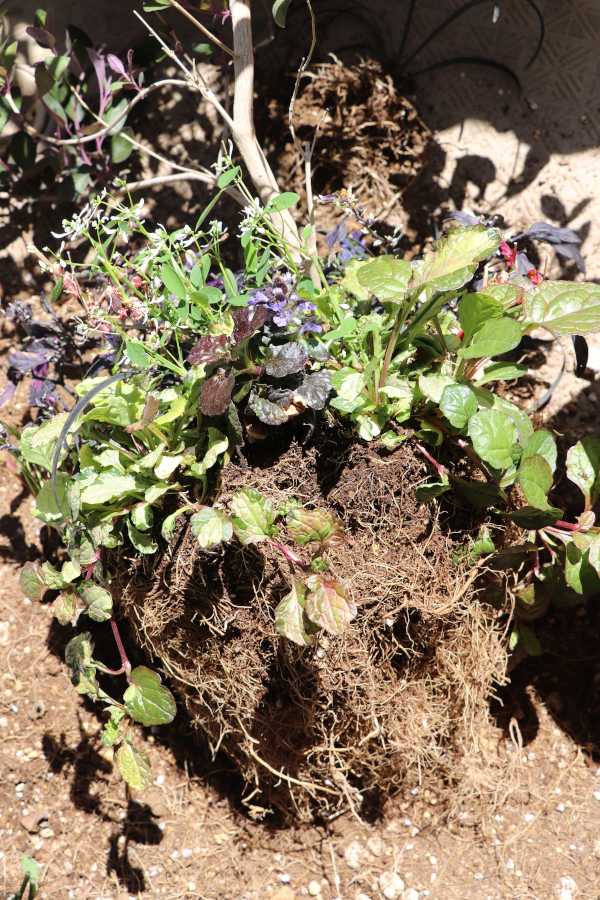 プルブレア 寄せ植え 植え替え 根の整理