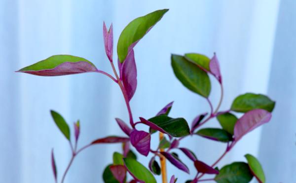 ミツバハマゴウ プルブレア セイヨウニンジンボク 葉の裏が紫
