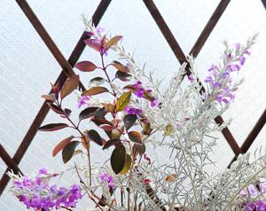 セイヨウニンジンボク プルプレア 寄せ植え ミツバハマゴウ パープレア エレモフィラ・ニベア