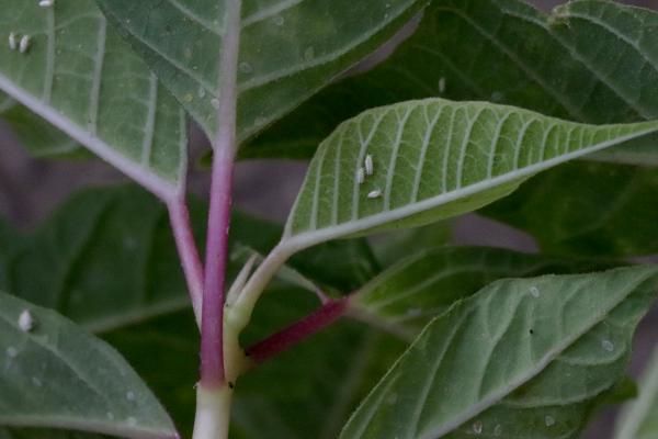 ポインセチアの葉の裏についた成虫と幼虫