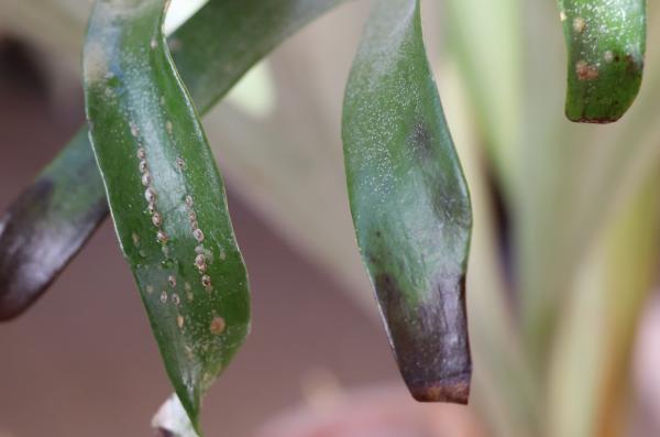 ビカクシダの胞子葉についたヒラタカタカイガラムシ
