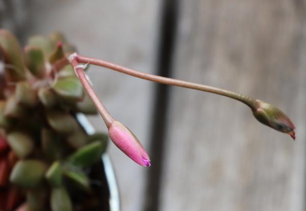 アナカンプセロス属 桜吹雪の閉鎖花