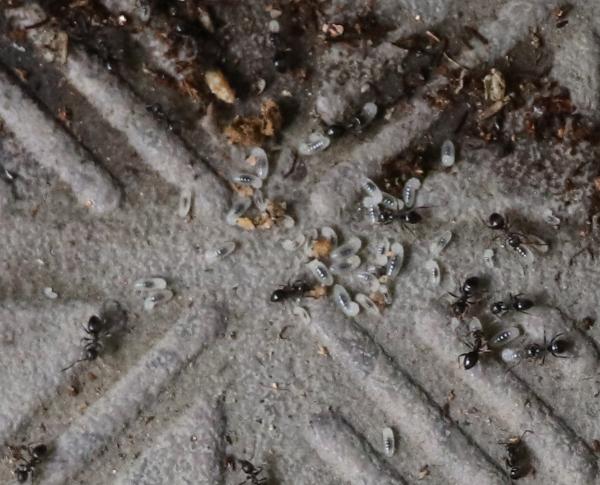 鉢の下のアリの巣